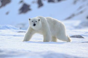 Poster de jardin Ours Blanc Polar Bear (Ursus maritimus) Spitsbergen North Ocean