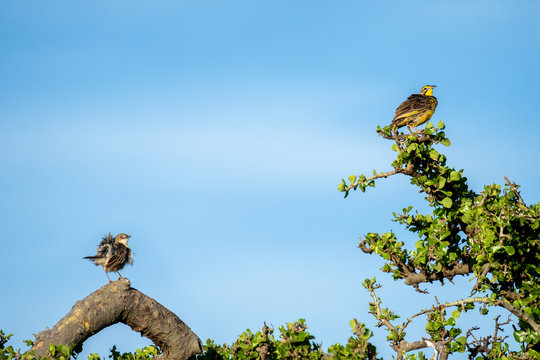 A pair of yellow-throated longclaw birds in the Masai Mara