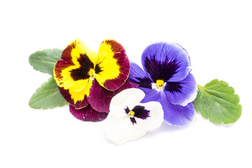 Poster Pansies Pansy flower isolated on white background