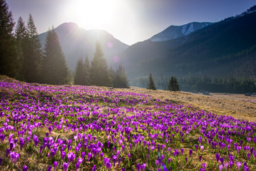 Photo sur Plexiglas Crocus Beautiful spring landscape of mountains with crocus flowers