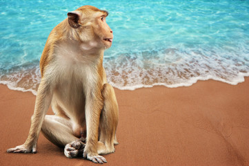 Wall Mural - Monkey sitting on Sandy beach background and Soft wave with blue sea Summer background concept