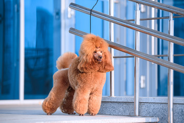 Wall Mural - Dog breed small poodle peach color stands at the shopping center.