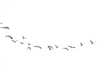 Keuken foto achterwand Vogel Group of Birds flying in the sky