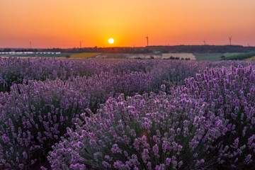 Tuinposter Aubergine Beautiful sunset sky over a field of lavender and wind turbines, Gorun, Bulgaria