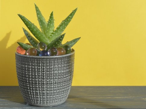 aloe brevifolia Mill plant in flower pots on a yellow background with space for text