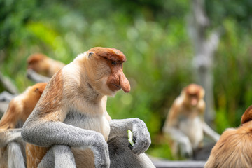 Wild Proboscis monkey or Nasalis larvatus, in rainforest of Borneo, Malaysia Wall mural