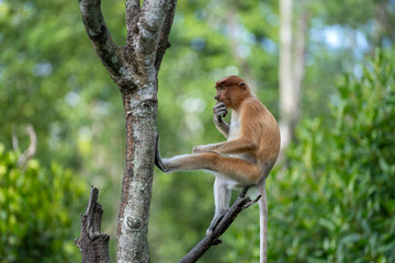 Wild Proboscis monkey or Nasalis larvatus, in rainforest of Borneo, Malaysia