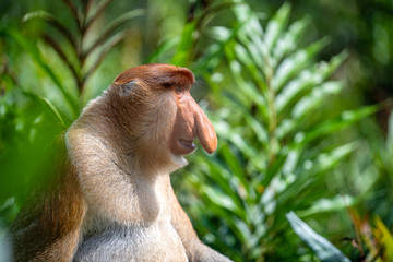 Photo sur Plexiglas Singe Wild Proboscis monkey or Nasalis larvatus, in rainforest of Borneo, Malaysia