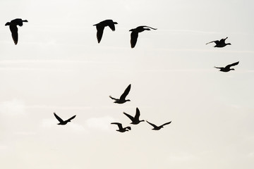 Printed roller blinds Bird Flock of geese flying in formation in winter in a natural park