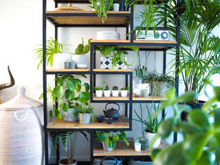 Fototapeta Green interior with an industrial open shelf cupboard filled with numerous house plants in pots creating an indoor garden obraz