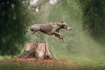 Tuinposter Hond weimaraner dog jumps over a cut down tree in the forest