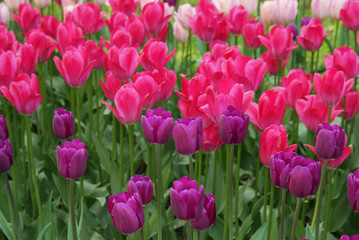 Poster Rose Multi-colored tulips in the park, flowers in the garden, spring.