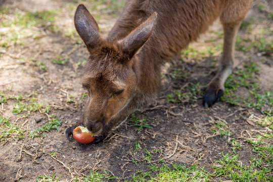 kangaroo eats apple