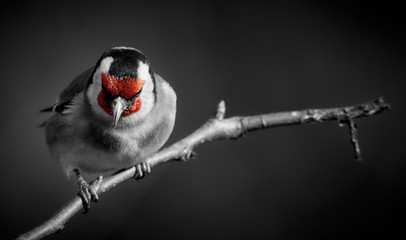 Goldfinch (Carduelis carduelis) perched on a twig. Passerine bird isolated on black background and selective color Fototapete