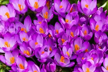 Poster Crocuses blühender lila Krokus als Blumenteppich