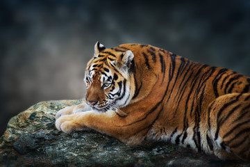 Photo sur Toile Tigre Tiger lay on rock against dark background