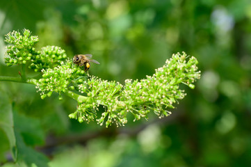 Papiers peints Vignoble Honey bees pollinating vine blossom in vineyard in early spring