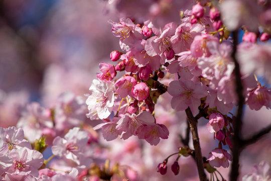 春の訪れ 桜の花