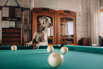 beautiful weimaraner dog posing by the pool table indoors