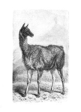 Guanaco (Llama guanicoe) Lama / Engraved antique illustration from Brockhaus Konversations-Lexikon 1908