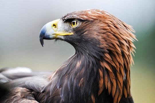 Eagle. Golden eagle head detail. Aquila chrysaetos