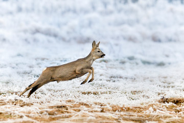 Roe deer sprinting. Capreolus capreolus. European roe deer jump on frozen meadow in high speed.