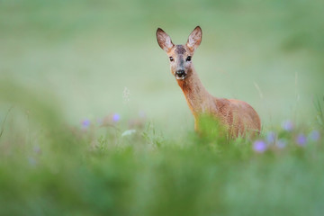 Roe deer standing in forest natural habitat.