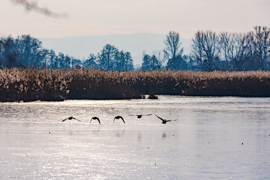 Fünf Enten im Tiefflug über dem gefrorenen Wasser eines Naturreservats