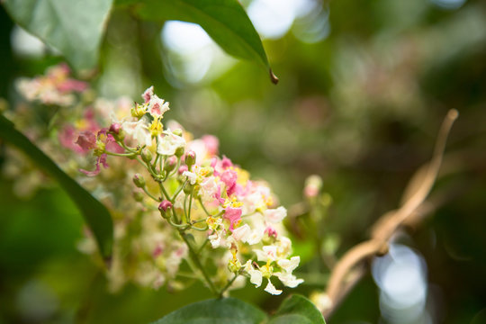 Close up of Banisteriopsis Caapi flowers and vine, one of the Ayahuasca plants. Psychadelic plant from Brazil. Used in indigenous rituals and shamanism.