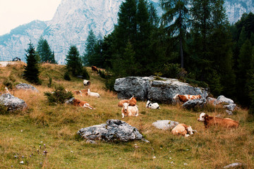 A mountainside nature picture of cows resting in a grass meadow