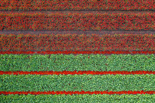 Aerial view of tulip planted fields in the Keukenhof district. Spring in the Netherlands
