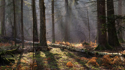 Wall Mural - Sunbeam entering mixed forest stand
