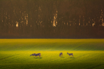 Photo sur Toile Roe Roe deer - Capreolus capreolus on a meadow