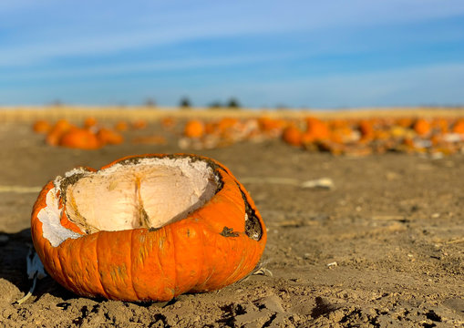Closeup of a broken, rotting pumpkin in a pumpkin patch.