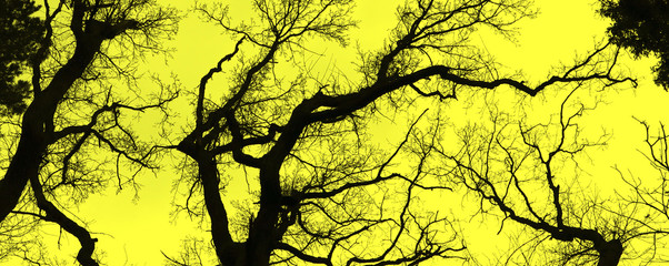 Fotorollo Gelb Stark bare tree branches silhouetted against a winter sky. Banner.