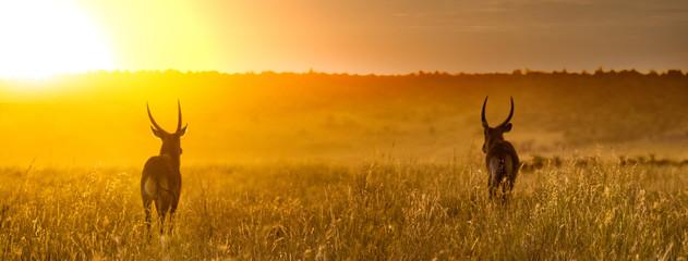 Wall Mural - Waterbuck in Africa Golden Sunset Web Header