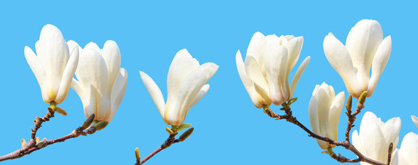 Papiers peints Magnolia branch of white magnolia with blooming flowers isolated on blue background, closeup
