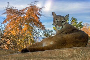 Printed kitchen splashbacks Puma Mountain Lion relaxing on a Ledge
