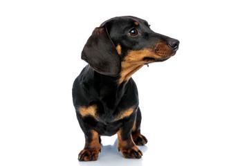 Curious Teckel puppy looking away and listening Fotobehang