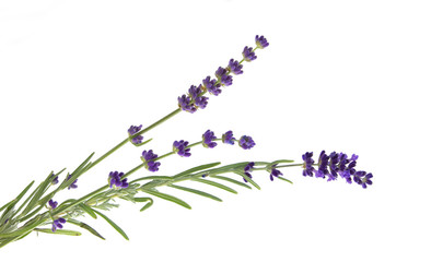 Tuinposter Lavendel Lavender flowers in closeup. Bunch of lavender flowers isolated over white background. Awesome top view with purple lavender flowers close-up isolated on white background.