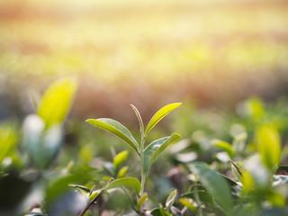 Wall Mural - tea leaf at green tea farm