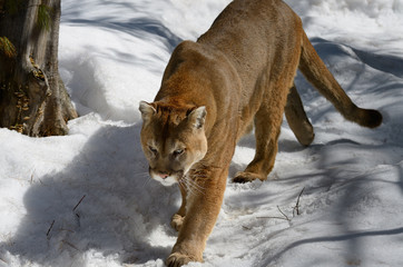 Photo sur Aluminium Puma Cougar walking on a snowy forest trail in spring