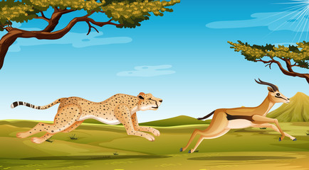 Scene with cheetah chasing anelope in the savannah field