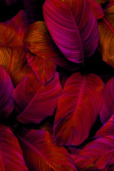 Wall Mural - leaves of Spathiphyllum cannifolium, abstract colorful texture, nature background, tropical leaf