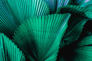 Wall Mural - tropical palm leaf and shadow, abstract natural green background, dark blue tone