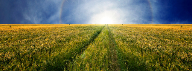 Wall Mural - Scenic view of grain field and bright blue sky with the sun going below the horizon. Rural summer landscape. Beauty nature, agriculture and seasonal harvest time. Panoramic banner.