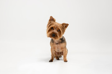 Wall Mural - Interested. Yorkshire terrier dog is posing. Cute playful brown black doggy or pet playing on white studio background. Concept of motion, action, movement, pets love. Looks happy, delighted, funny.