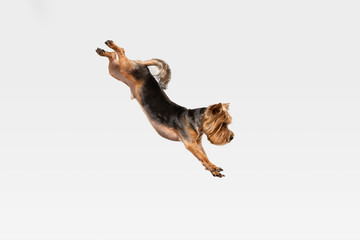 Wall Mural - Flying, jumping. Yorkshire terrier dog is posing. Cute playful brown black doggy or pet playing on white studio background. Concept of motion, action, movement, pets love. Looks delighted, funny.