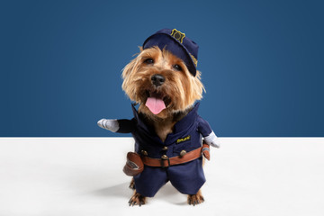 Wall Mural - Policeman, inspector. Yorkshire terrier dog is posing. Cute playful brown black doggy or pet playing on blue studio background. Concept of motion, action, movement, pets love. Looks delighted, funny.