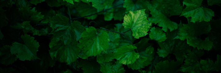 Natural background of wet green grape leaves grow in the garden Fototapete